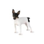Petland Independence, MO Toy Fox Terrier