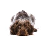 Petland Independence, MO German Wirehaired Pointer