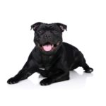 Petland Independence, MO Staffordshire Bull Terrier