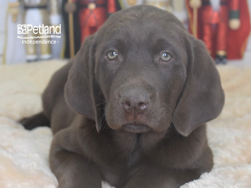 Labrador Retriever-Male-Chocolate-2556795-Petland Independence, MO