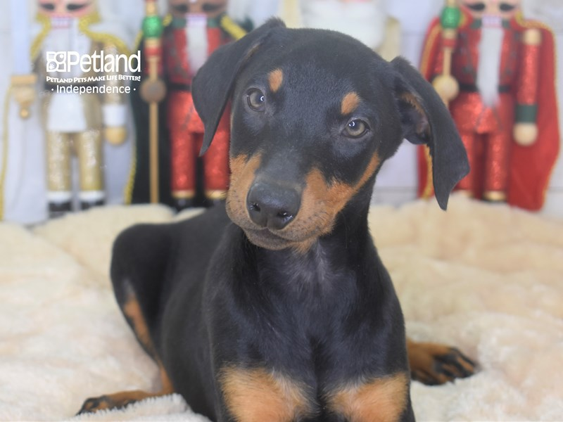 Doberman Pinscher-Male-Black and Rust-2554633-Petland Independence, MO