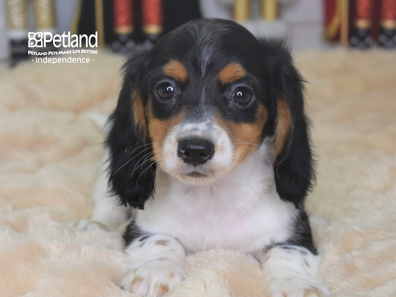 Dachshund-Male-Black and White Piebald-2559285-Petland Independence, MO
