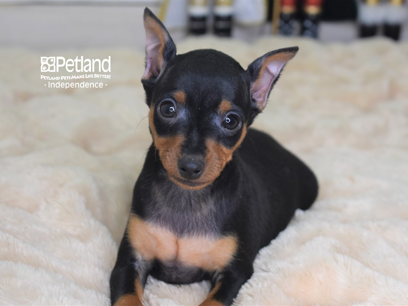 Miniature Pinscher-Male-Black and Rust-2567057-Petland Independence, MO