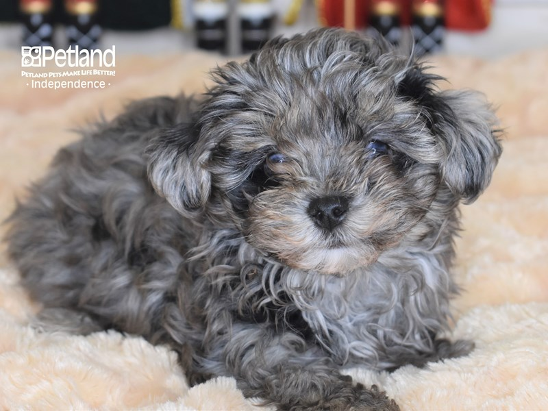 Maltipoo-Male-Blue Merle-2570383-Petland Independence, MO