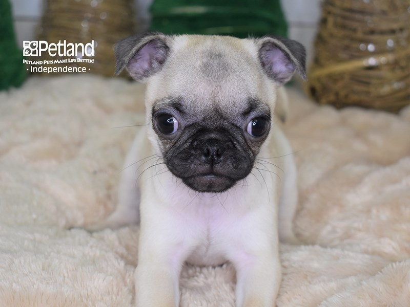 Pug-Female-Fawn-2535817-Petland Independence, MO