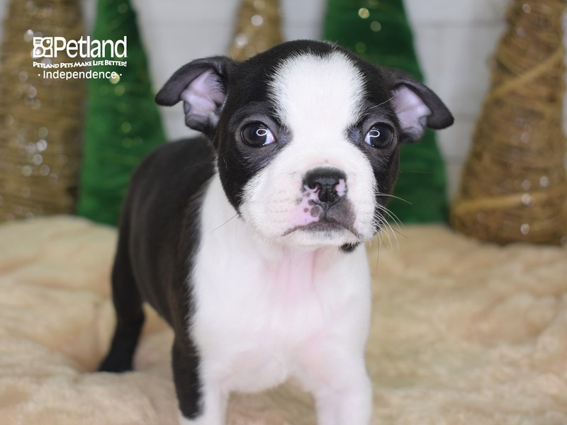 Boston Terrier-Female-Black & White-2535808-Petland Independence, MO
