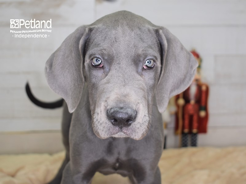 Great Dane-Male-Blue-2562906-Petland Independence, MO