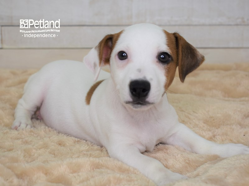 Jack Russell Terrier-Male-White & Tan-2566937-Petland Independence, MO