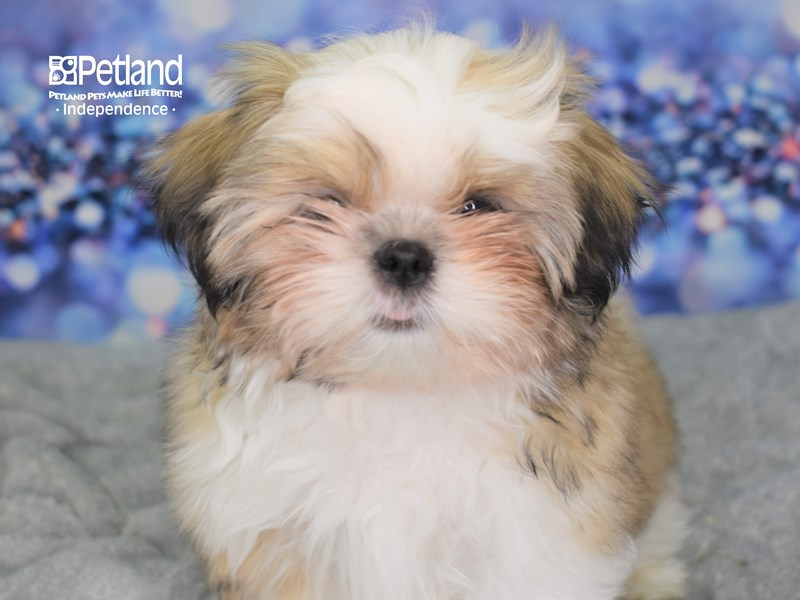 Shih Tzu-Male-Gold and White-2578633-Petland Independence, MO
