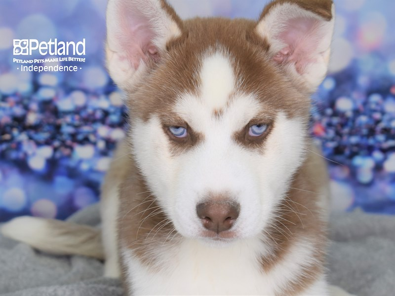 Siberian Husky-Male-Red and White-2579252-Petland Independence, MO