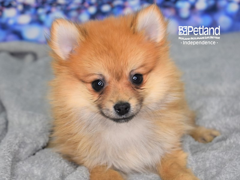 Pomeranian-Female-Orange-2581135-Petland Independence, MO