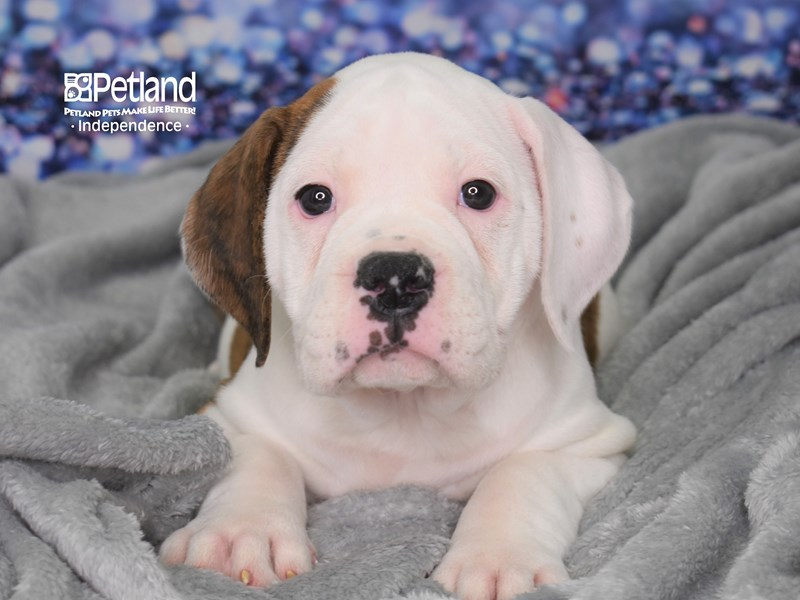 Olde English Bulldogge-Female-Brindle & White-2593830-Petland Independence, MO