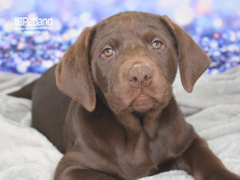 Labrador Retriever-Male-Chocolate-2591283-Petland Independence, MO