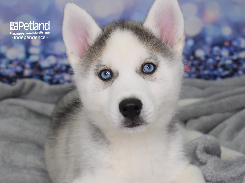 Siberian Husky-Female-Silver & White-2591294-Petland Independence, MO
