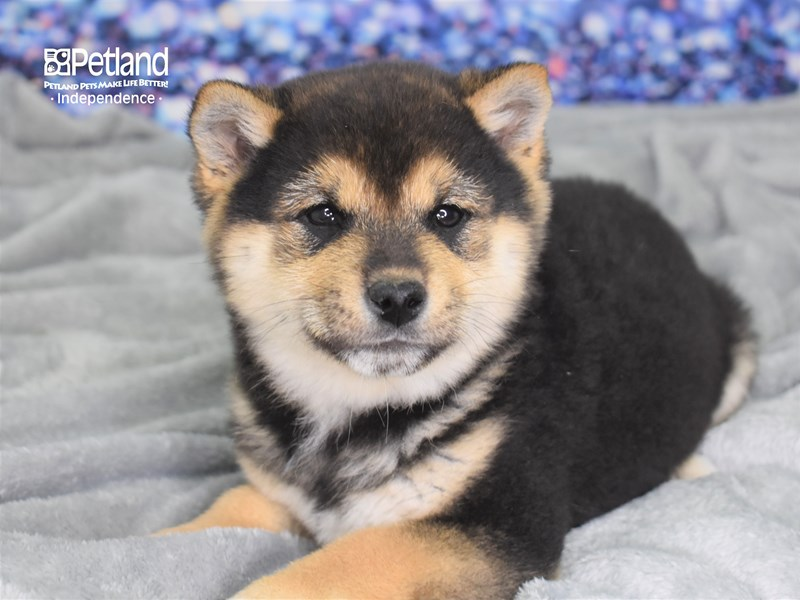 Shiba Inu-Male-Black & Tan-2591324-Petland Independence, MO
