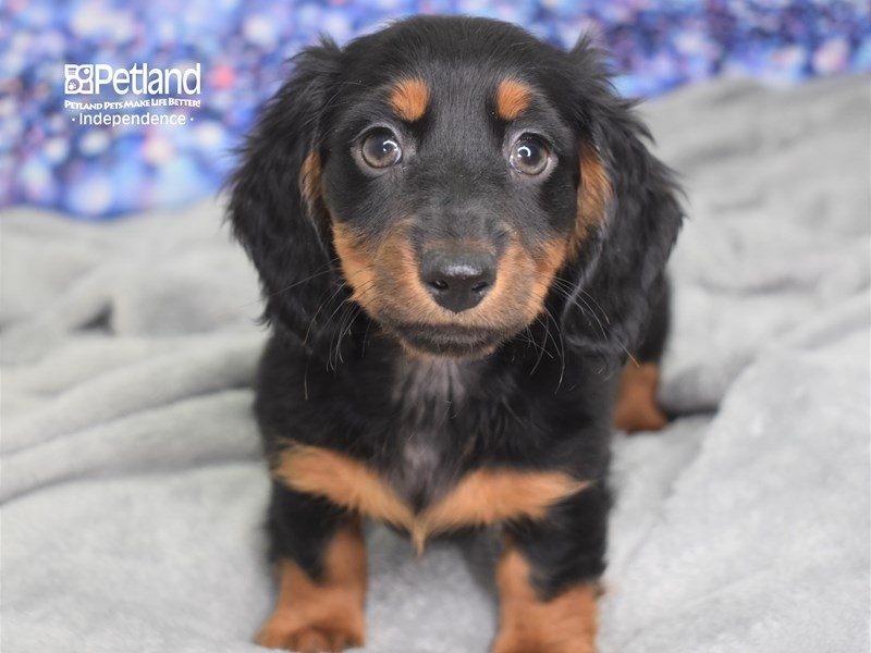 Dachshund-Male-Black and Tan-2601188-Petland Independence, MO