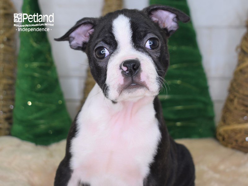 Boston Terrier-Male-Black & White-2535810-Petland Independence, MO
