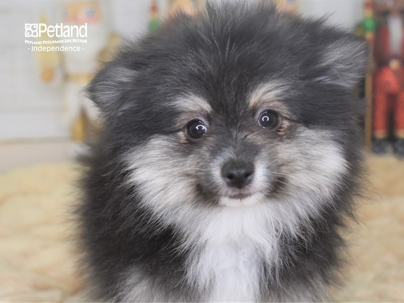 Pomeranian-Female-Black and Tan Parti-2551665-Petland Independence, MO