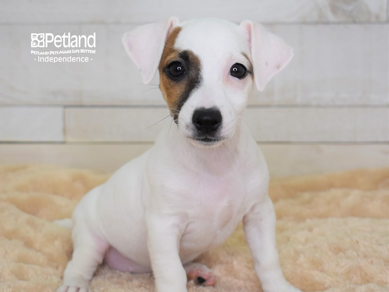 Jack Russell Terrier-Female-White & Tan-2566943-Petland Independence, MO