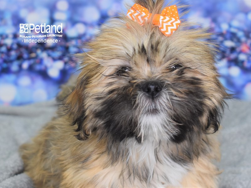 Lhasa Apso-Female-Red Gold-2559543-Petland Independence, MO