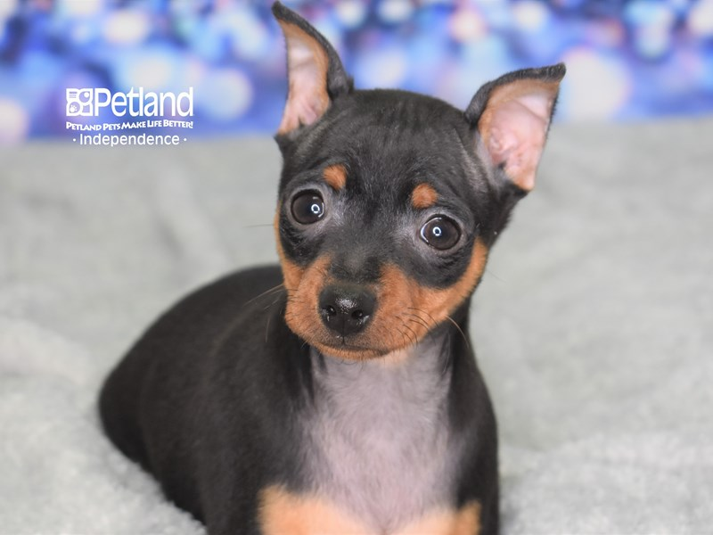 Miniature Pinscher-Male-Black & Tan-2583189-Petland Independence, MO