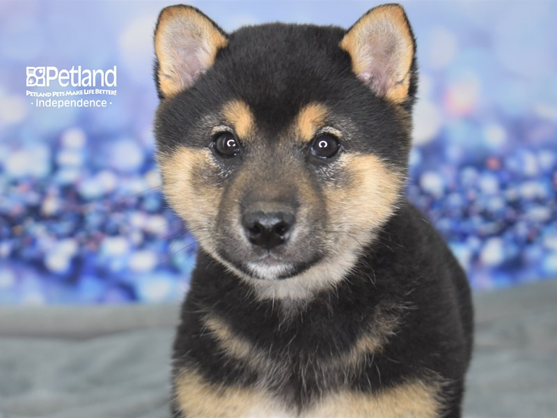 Shiba Inu-Male-Black & Tan-2585547-Petland Independence, MO