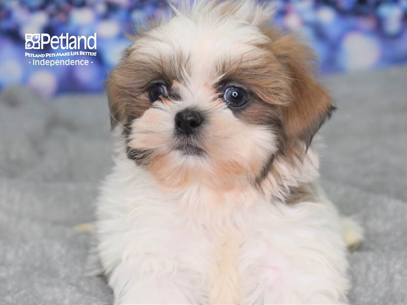 Shih Tzu-Male-Blue & White-2583548-Petland Independence, MO