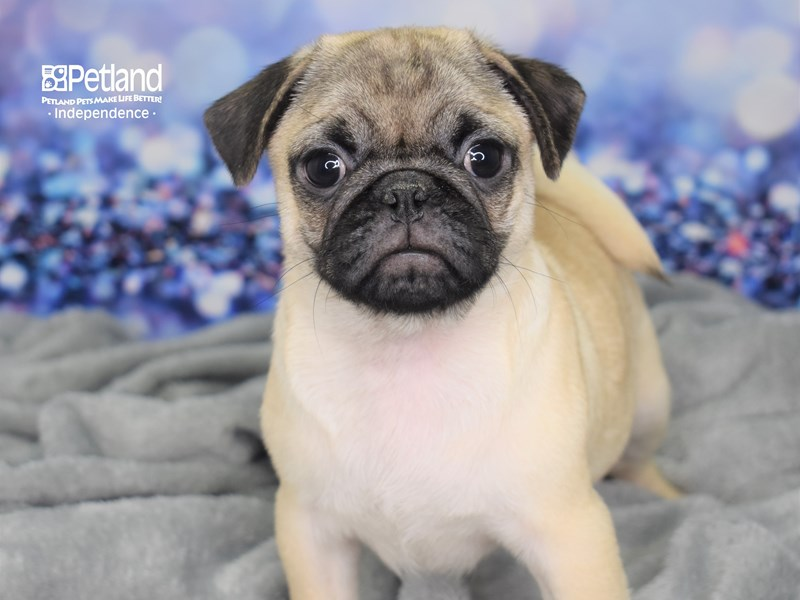 Pug-Male-Fawn Black Mask-2586352-Petland Independence, MO