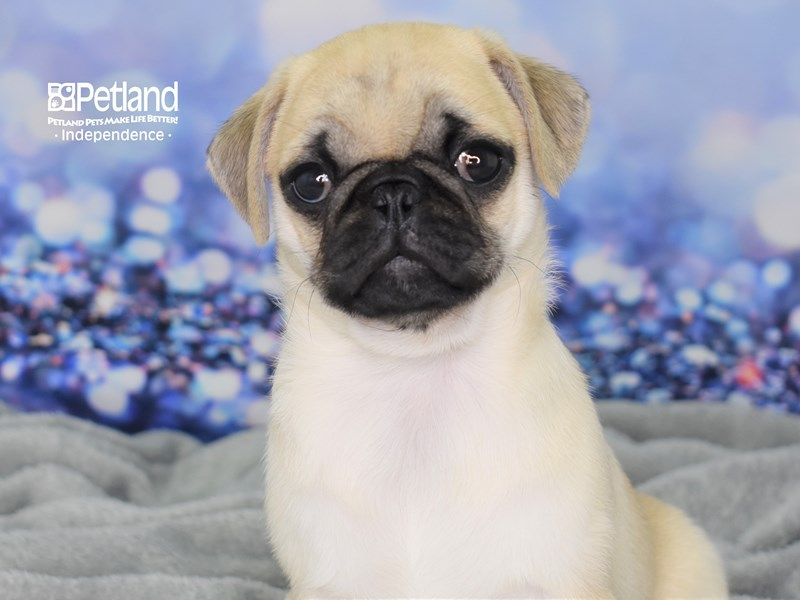 Pug-Female-Fawn-2589782-Petland Independence, MO