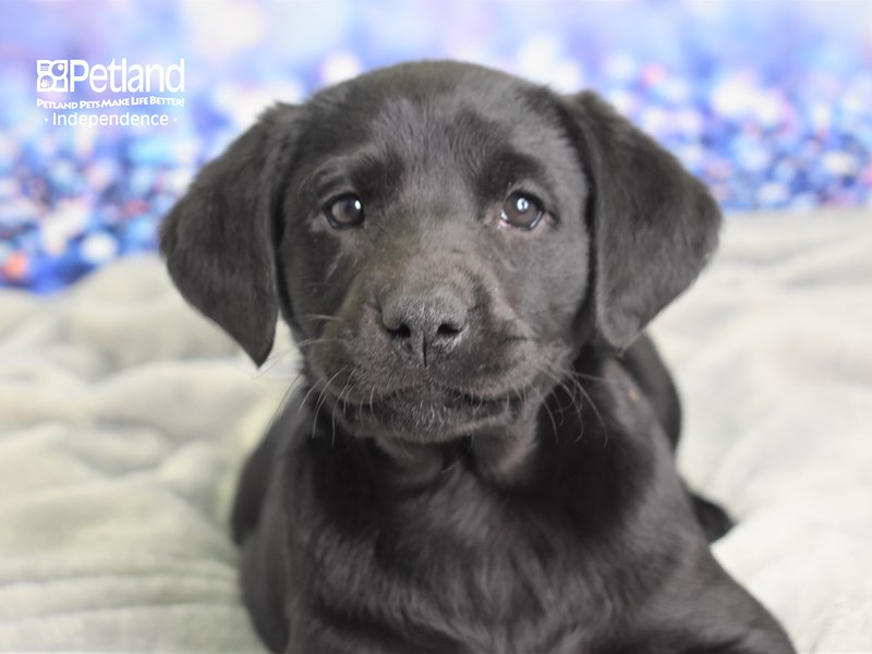 Labrador Retriever-Female-Black-2591277-Petland Independence, MO