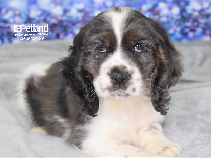 Cocker Spaniel-Male-Merle & White-2593812-Petland Independence, MO