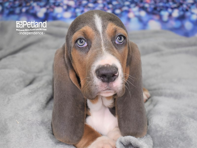 Basset Hound-Male-Blue Tan and White-2605039-Petland Independence, MO