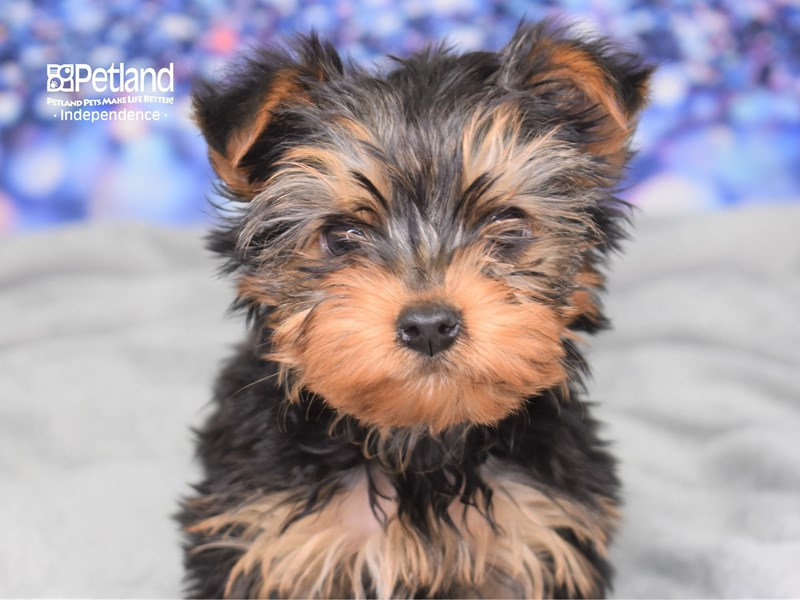 Yorkshire Terrier-Female-Black and Gold-2604943-Petland Independence, MO