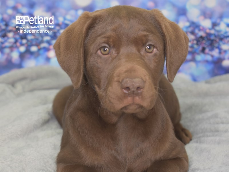 Labrador Retriever-Female-Chocolate-2606280-Petland Independence, MO