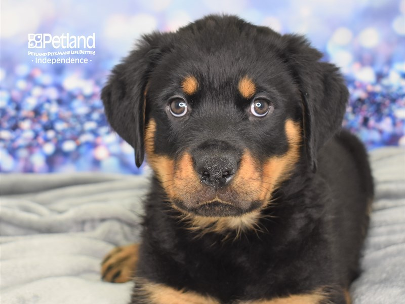 Rottweiler-Male-Black and Rust-2614005-Petland Independence, MO