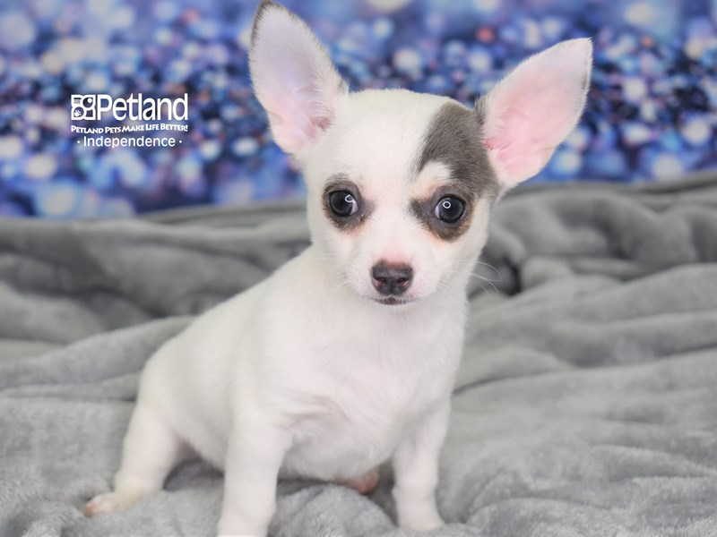 Chihuahua-Male-Blue and White-2614008-Petland Independence, MO