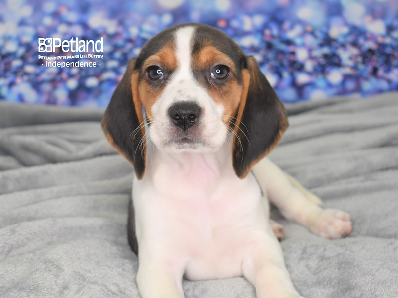 Beagle-Female-Tri-2608666-Petland Independence, MO