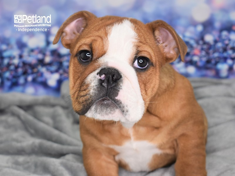 English Bulldog-Male-Red and White-2609063-Petland Independence, MO
