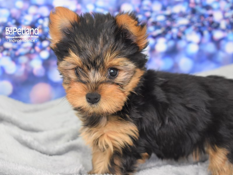 Yorkshire Terrier-Female-Black and Gold-2619311-Petland Independence, MO