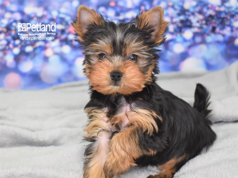 Yorkshire Terrier-Male-Black and Tan-2616994-Petland Independence, MO