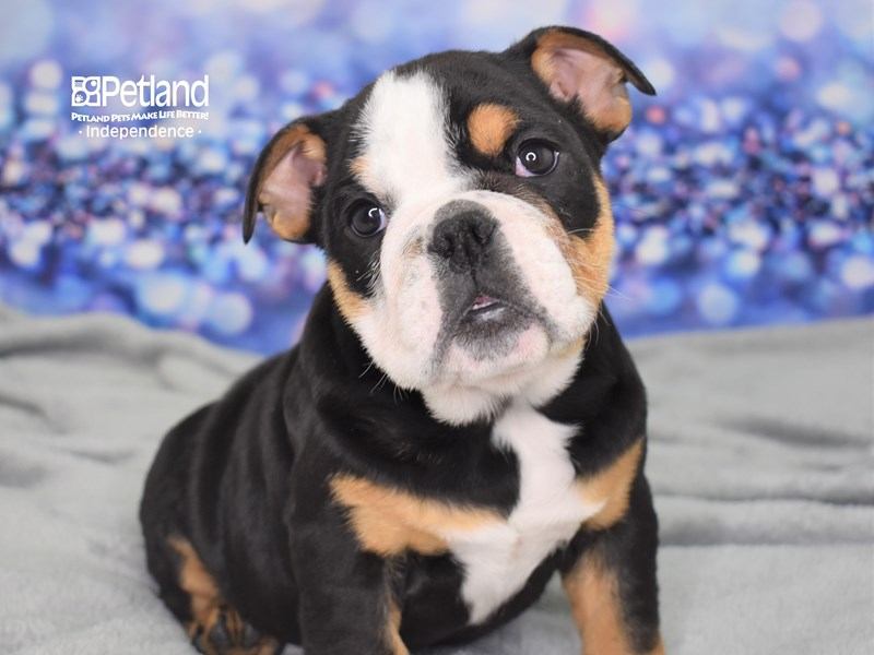English Bulldog-Female-Black and Tan-2616493-Petland Independence, MO