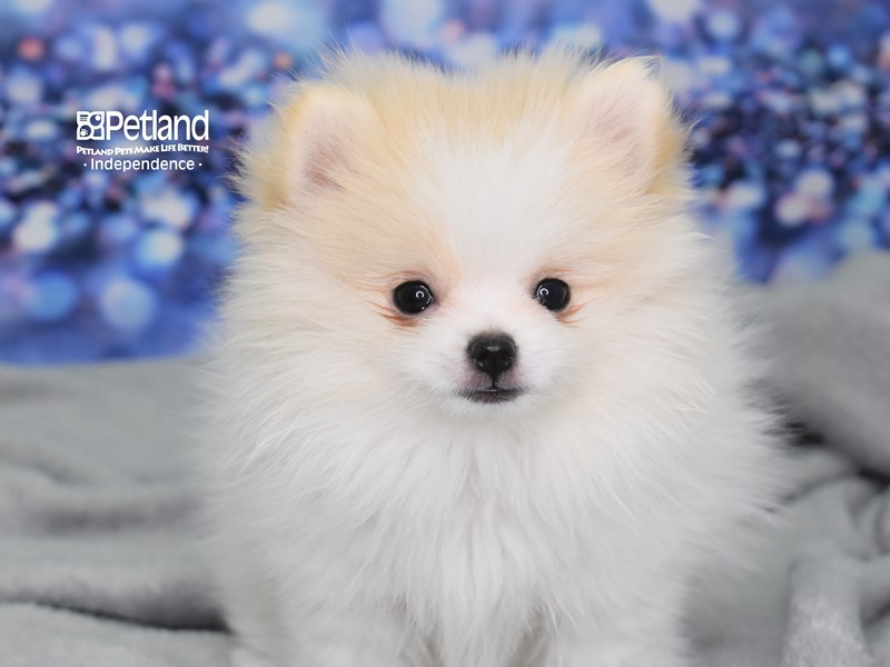 Pomeranian-Female-Cream and White Parti-2619009-Petland Independence, MO