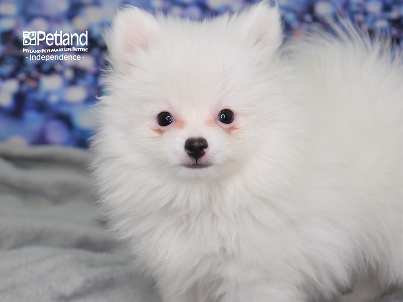 Pomeranian-Male-White-2619014-Petland Independence, MO