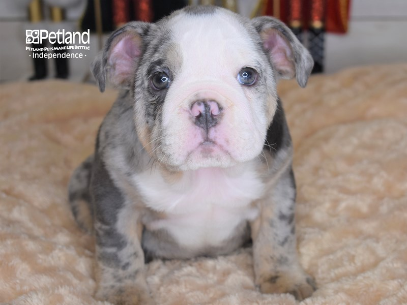 English Bulldog-Female-Blue Merle-2570365-Petland Independence, MO