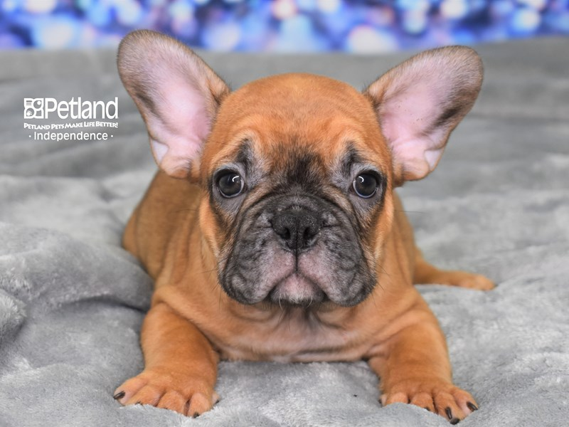 French Bulldog-Male-Red-2586376-Petland Independence, MO