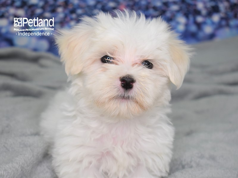 Maltese-Male-White-2619279-Petland Independence, MO
