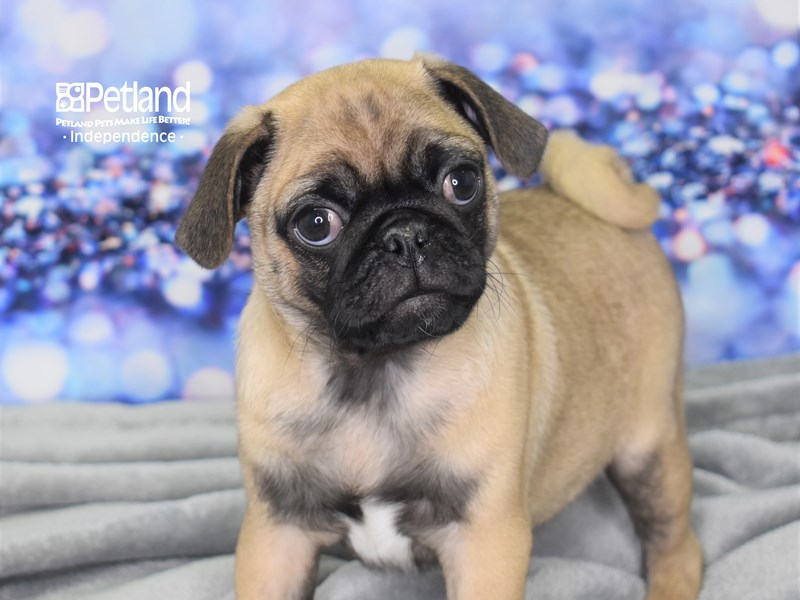 Pug-Male-Fawn-2616477-Petland Independence, MO