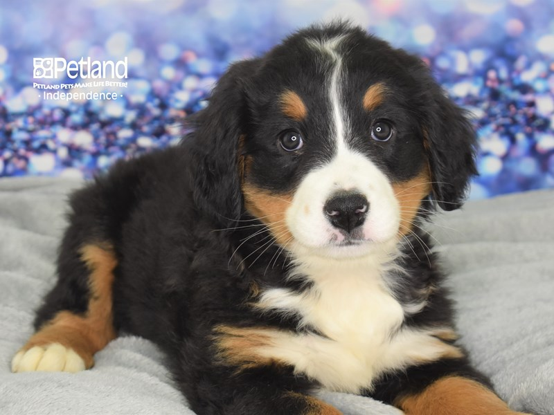 Bernese Mountain Dog-Female-Black & Tan-2636566-Petland Independence, MO