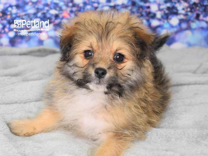 Pom-Poo-Male-Sable-2636629-Petland Independence, MO