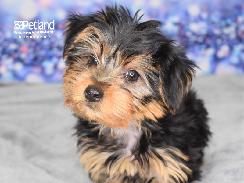 Yorkshire Terrier-Male-Black & Tan-2635817-Petland Independence, MO